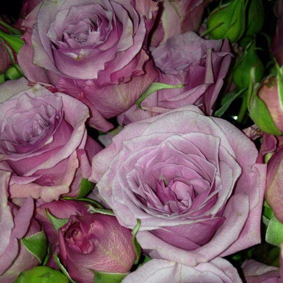 Purple mini roses