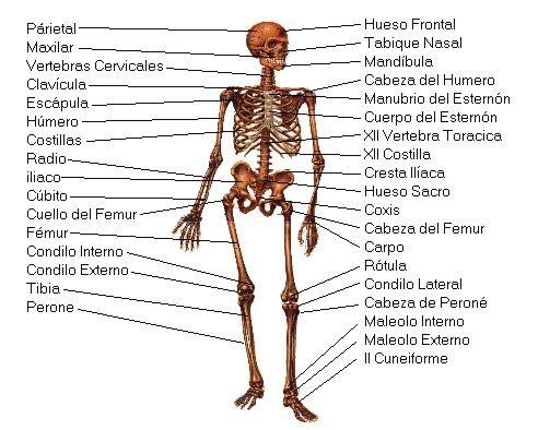 Resultado De Imagen Para Sistema Locomotor Human Body Bones Human Body Systems Human Bones