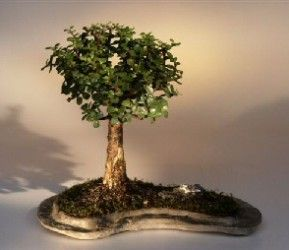 Baby Jade on Rock Slab Bonsai Tree  (Portlacaria Afra) http://JuniperBonsaiTree.com