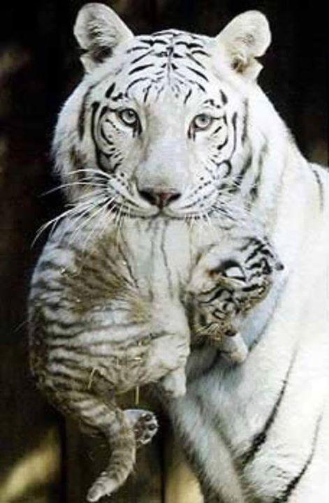 Tiger blanc de Bengala