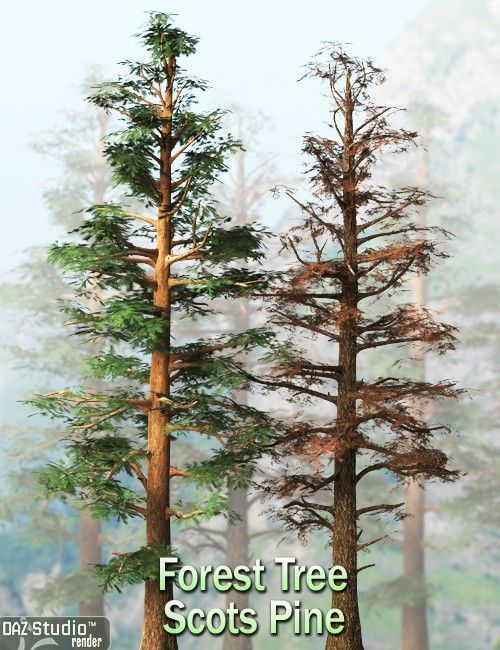 Forest Tree Scots Pine Pine Trees Forest Forest Tree
