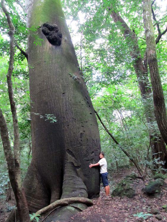 El Salvador - Parque Nacional El Imposible: caminando por el Bosque Tropical Seco Con una extensión de 5633 hectáreas y una diferencia de altitud entre 250 y 1425 metros, El Imposible es el Parque Nacional más grande de El Salvador y uno de los pocos bosques tropicales secos (que pierden sus hojas en época de sequía) que quedan. Bastante poco explorado por el turismo, alberga más de 400 especies de árboles, 8 ríos e infinidad de fauna como venado de cola blanca, oso hormiguero y mapache.