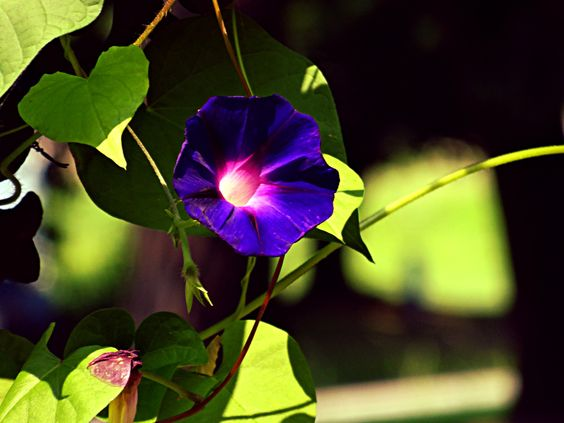 explore morning glory morning glories and more morning glories ...