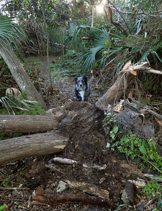 building a mound over a felled tree on Gypsy's trail. 12/10/2016