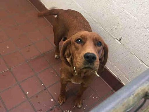 Pin By Coonhounds On Adoptable Redbone Coonhounds Redbone Coonhound Dog Adoption Coonhound