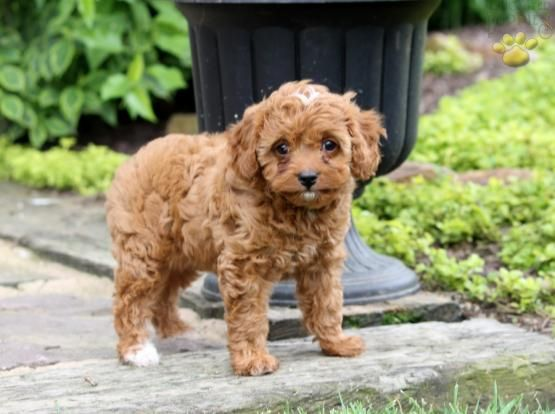 Haley Cavapoo Puppy For Sale In Millersburg Oh Cavapoo Puppies Cavapoo Puppies For Sale Puppies For Sale