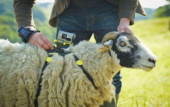 Sony usará ovelhas para filmar Tour de France 2014 [ Adrenaline.com.br ] Sony will use sheep cams.