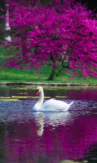 "<** ""The Swan,"" with Yo-Yo Ma. Exquisite Cello Piece. ""Le Cygne illustrates the fleeting nature of beauty, with its interpretation of the legend of the ""swan song."" This piece soothes and calms one.:"