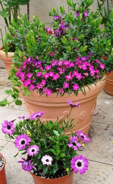 Foro de infojard n mi terraza maceta grande polygala for Infos jardin