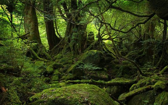 The Moss Covered Forest of Yakushima