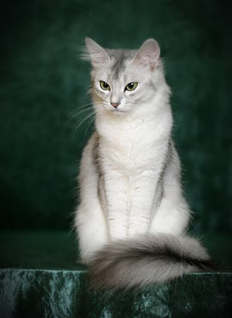 Hope In Somalia >> Silver Somali Cat I wish Anabelle wasn't so territorial so we could get her a Silver sister. So ...