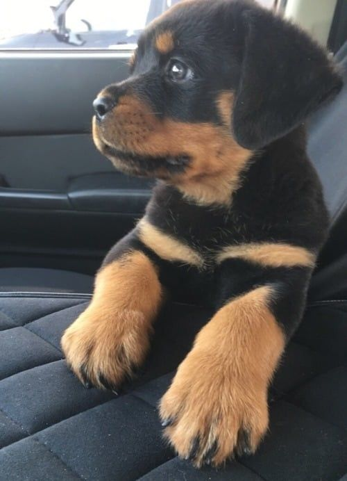 Cute Puppy Dog Animal Pets Rottweiler Puppies Baby