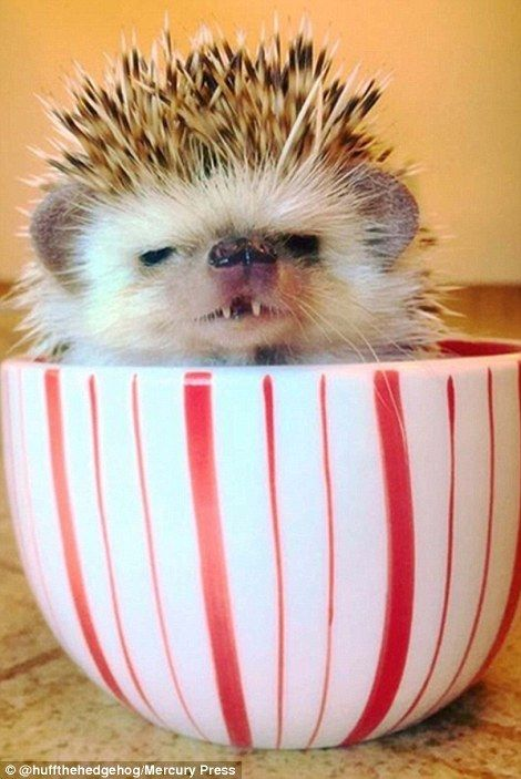 Huff the hedgehog becomes Instagram star thanks to his 'vampire fangs'   Daily Mail Online: