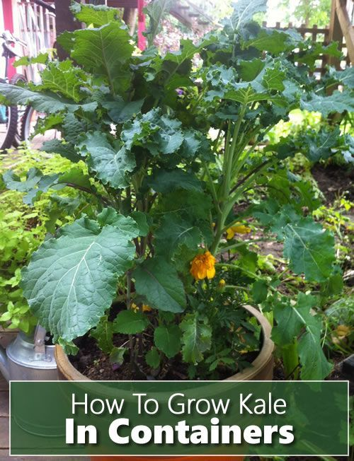 How To Grow Kale In Containers Indoors Or Outdoors Gardening