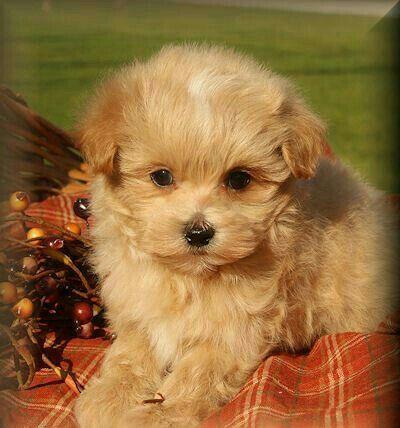 Pin By Enticing On Malti Poo Love Teddy Bear Dog