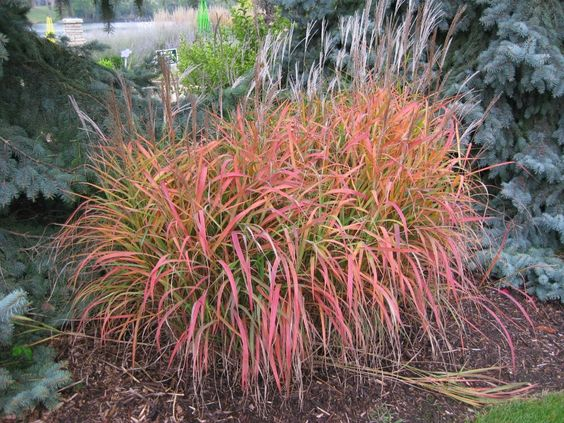 Miscanthus purpurascens flame grass ornamental full sun for Ornamental grasses that grow in shade