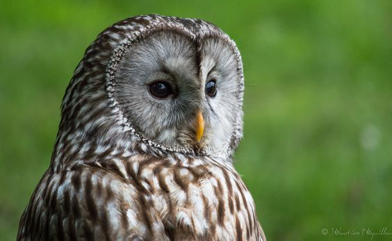 PHOTO OF THE DAY Why owls have 'flat' faces
