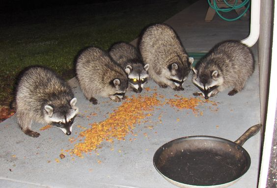 Five raccoons came by at night to eat cat food, which is by the back door