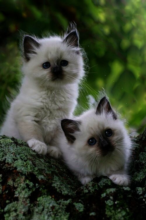 12 Days To A Better Happier And Healthier Pet Life Training Course Cute Animals Kittens Cutest Birman Kittens