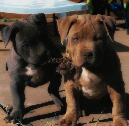 Black And Brown Pitbulls Animals Dogs Pitbull 2020