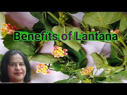 Benefits Of Lantana Camara Putus How To Grow Putus Youtube In 2020 Lantana Lantana Camara Medicinal Plants