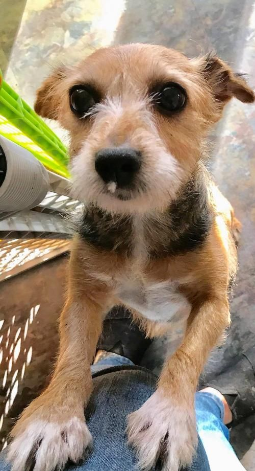 Trinket Is An Adoptable Dog Yorkshire Terrier Yorkie Toy Fox Terrier Mix Searching For A Forever Fam Dog Adoption Toy Fox Terriers