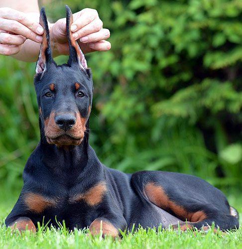 Doberman Puppies For Sale European Doberman Puppies Breeder In