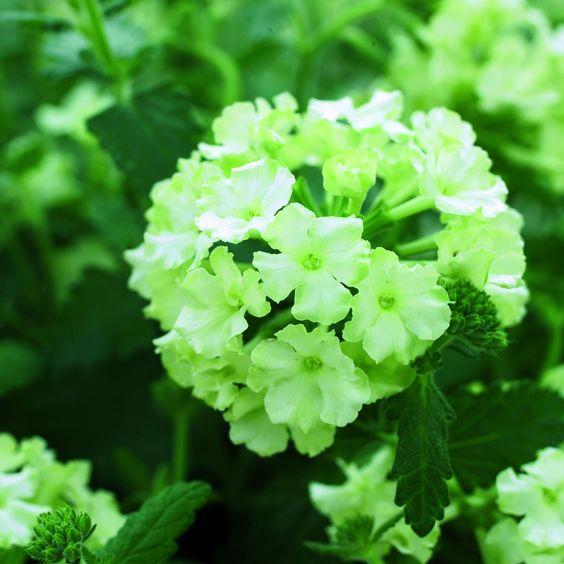 A new lime green verbena! Love it. Imagine the creative combinations possible...    http://www.fleuroselect.com/uploads/Verbena_x_hybrida_Lanai_Lime_Green1.jpg