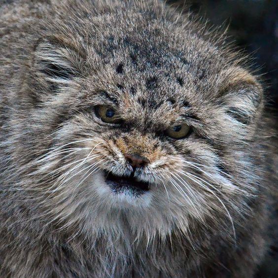 Conheça o Manul, o gato mais expressivo do mundo