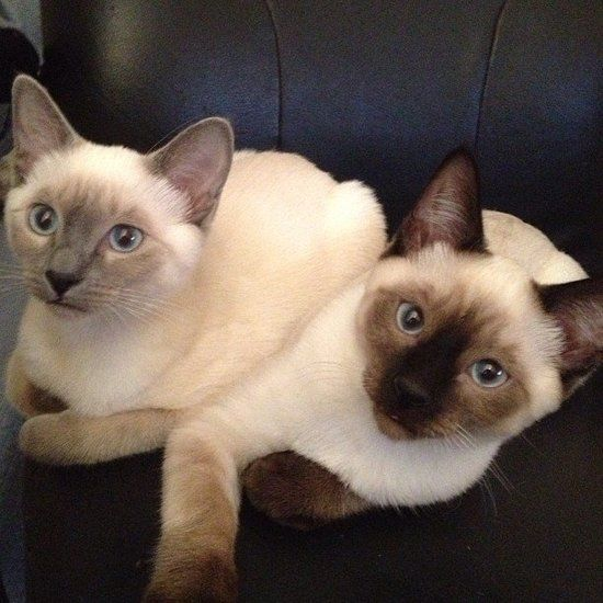 lilac and chocolate point siamese cats. I would <3 a chocolate point Siamese!