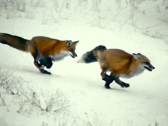 z- Foxes- Playing- Running