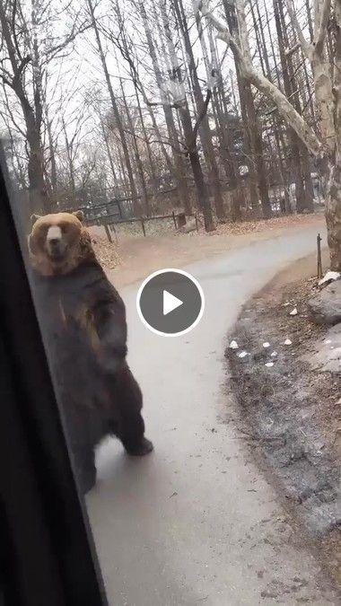 Urso Grande impressiona Andando em pé!