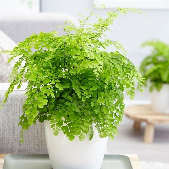Buy maidenhair fern Fragrans Adiantum raddianum Fragrantissimum: £10.39 Delivery by Crocus