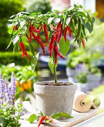 Afbeeldingsresultaat voor rode peper plant