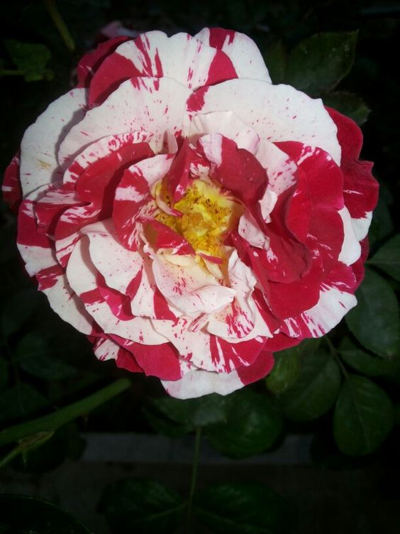 Sentimental Rose.
