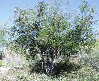 Ebenopsis ebano formerly pithecellobium flexicauletexas ebony ebenopsis ebano formerly pithecellobium flexicauletexas ebony chihuahuan evergreen to semi deciduous tree train as a tree thorny zig zagging sciox Choice Image
