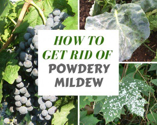 Organic Ways To Kill And Prevent White Powdery Mildew Powdery Mildew Organic Gardening Tips Plant Diseases