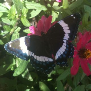 beautiful butterfly outside my office does anyone know what kind it is?