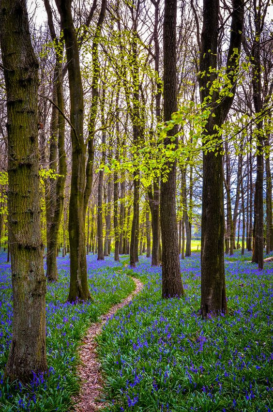 wanderthewood: Bluebells in Dockey Wood, Hertfordshire, England by ONE DIGITAL EYE