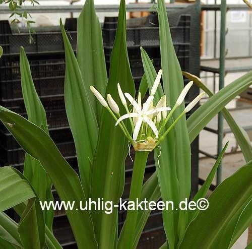 Crinum asiaticum  'Spider-Lily'