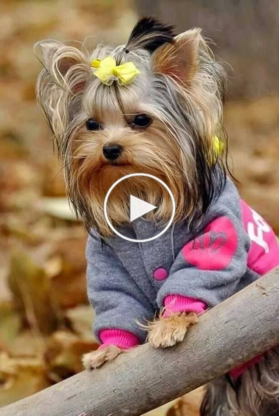 Pin By Melissa Price Brown On I Dogs Esp Yorkies With Images Yorkshire Terrier Puppies Yorkshire Terrier Terrier