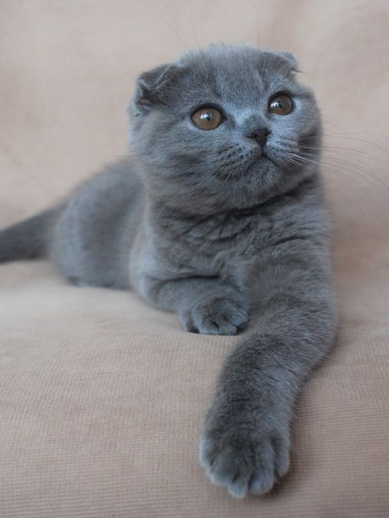 Pin By Danielle Thereze On British Shorthair Scottish Fold Cat
