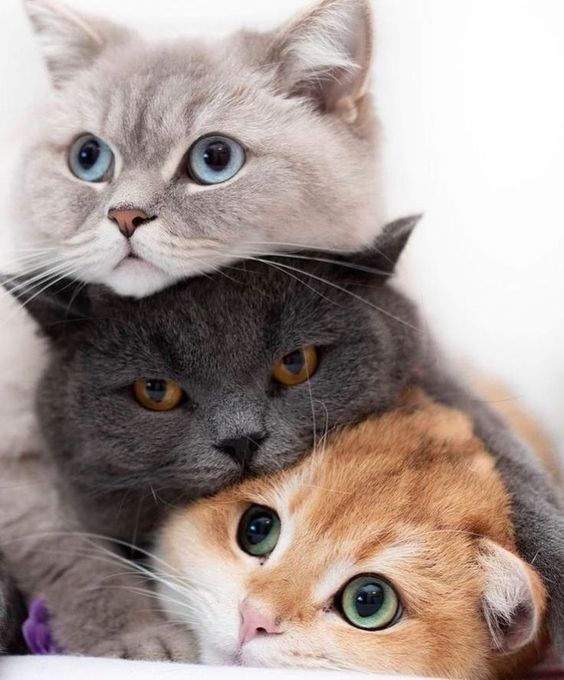 How Lovely Are Those Three Cats Stacked On Top Of Each Other Threecats Cuddletime Bestfriends Aww Cutest Animals On Earth Cute Cats Cute Animals