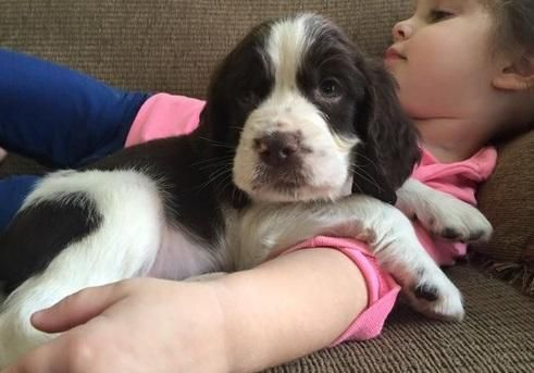 English Springer Spaniel Puppies For Sale Buffalo Ny In 2020 Spaniel Puppies For Sale Springer Spaniel Puppies English Springer Spaniel Puppy