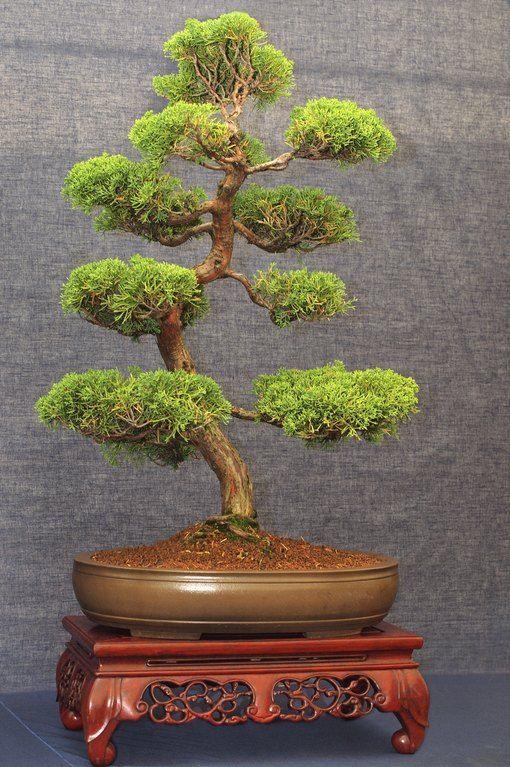 How To Bonsai A Cedar Tree Bonsai Bonsai Tree Cedar Hunker Tree In 2020 Indoor Bonsai Tree Bonsai Tree Types Juniper Bonsai