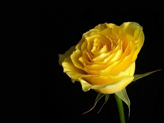 Download free most beautiful & best fresh Yellow Rose ...