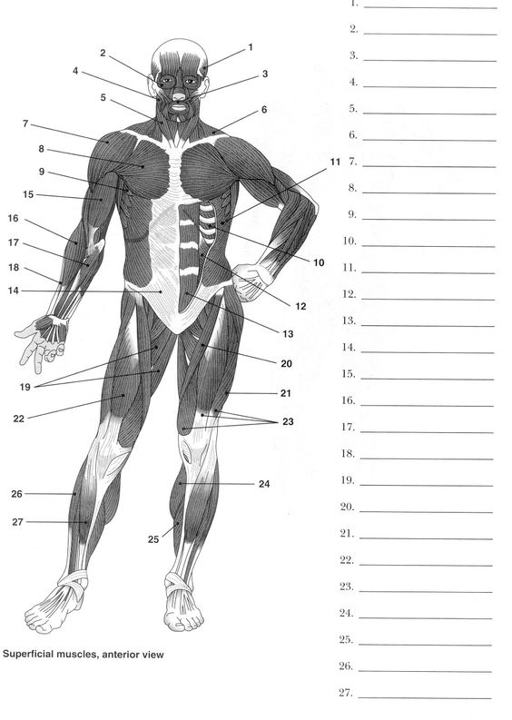 Muscle Anatomy Printable Muscle Diagram Worksheet The Largest And ...