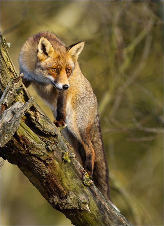 Red fox climbing a tree by @Menno Schaefer