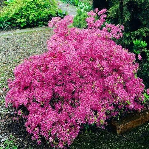 Gartenazalee Rosa Straucher Pflanzen Azaleen Fruhlingsgarten