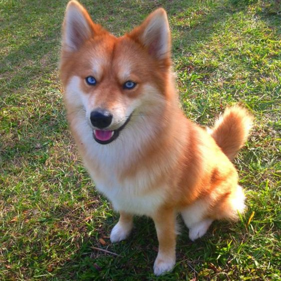 Dogs That Look Like Foxes 12 Foxy Dog Breeds Pet Fox Animals Dogs